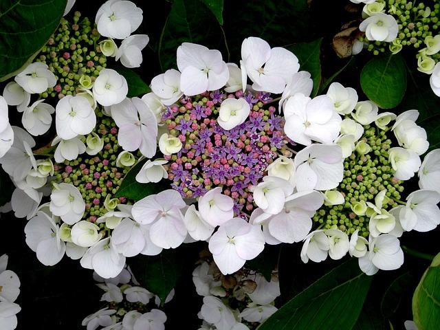 色で変わる「紫陽花」の花言葉たち|【プレゼントに注意】実は怖い意味も