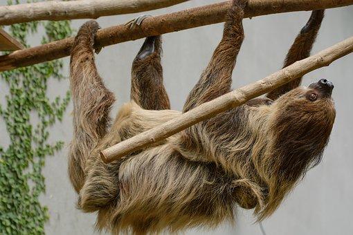 Sloth, Zoo, Depend, Sleep, Tree, Animal