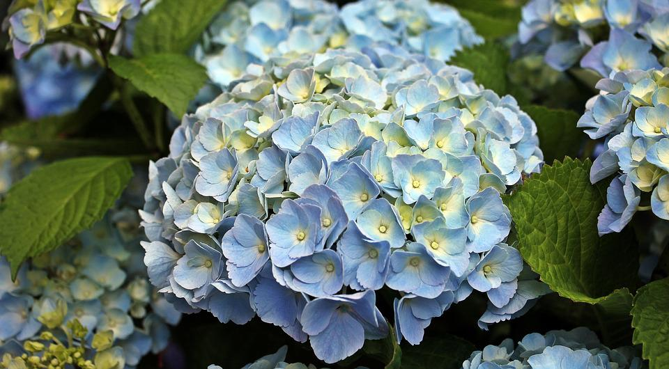 blue, hydrangea  free images on pixabay, Beautiful flower