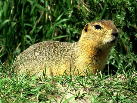 Gopher, Prairie Dog, Rodent, Wildlife