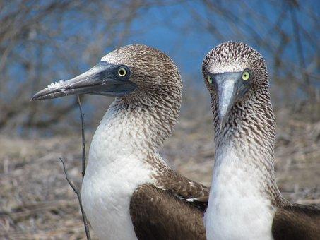 Pájaros Bobo, Aves, Pareja, Tropical
