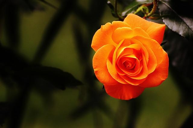 kostenloses foto rose orange bl te blume kostenloses bild auf pixabay 1503881. Black Bedroom Furniture Sets. Home Design Ideas