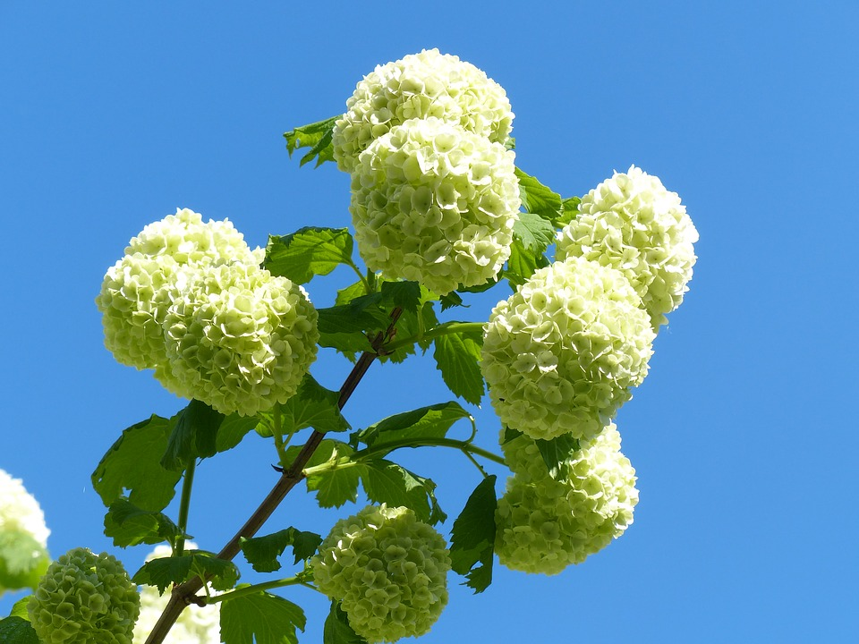 White hydrangea images pixabay download free pictures hydrangea snow ball white flowers mightylinksfo