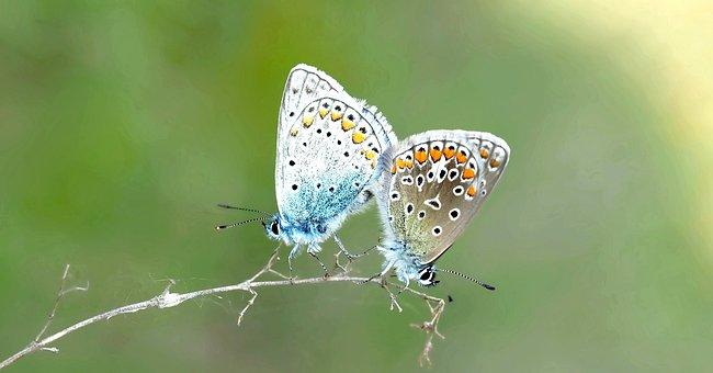 Pairing, Common Blue, Hauhechel