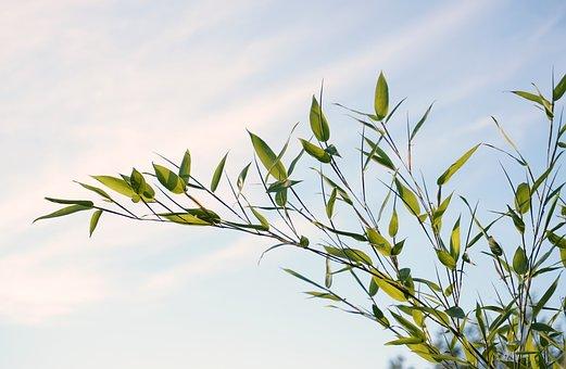 bamboo plants free images on pixabay. Black Bedroom Furniture Sets. Home Design Ideas