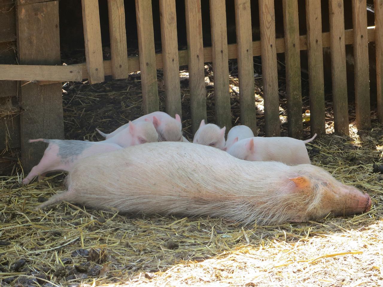 Картинки свинья кормит поросят