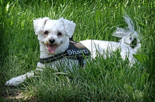 Bichon Frise, Dog, Lying, Meadow, Grass
