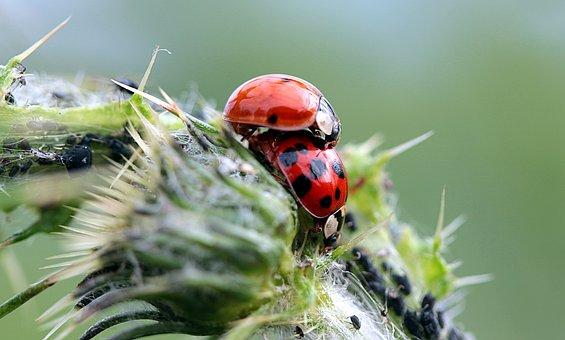 Ladybug, Asian Ladybug