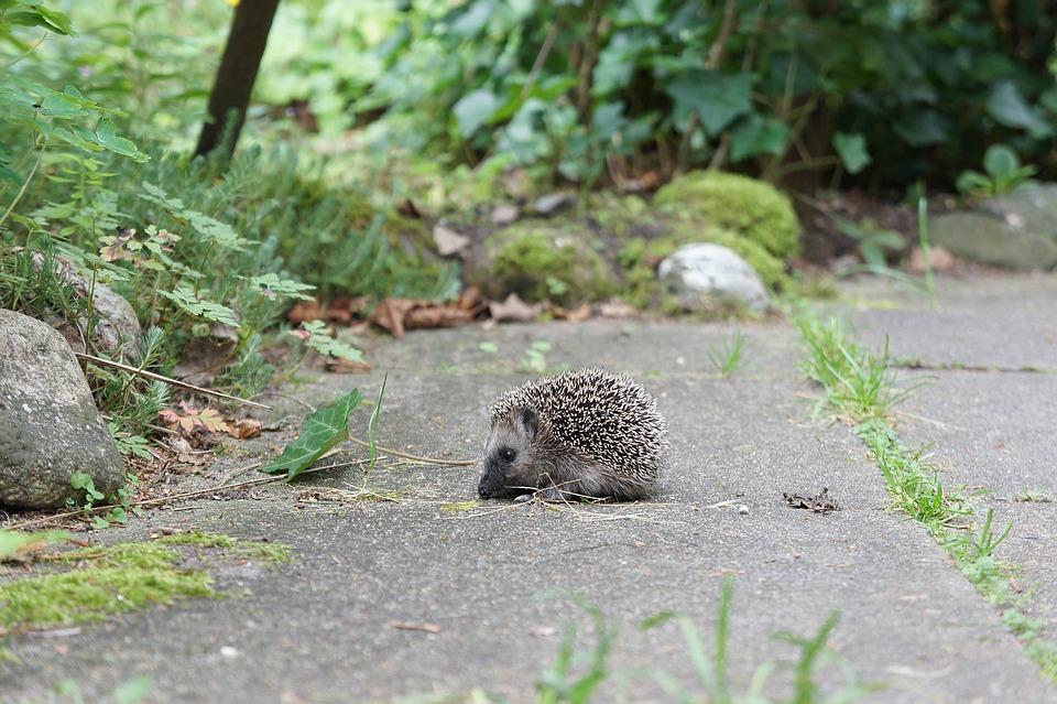 een egel in de tuin