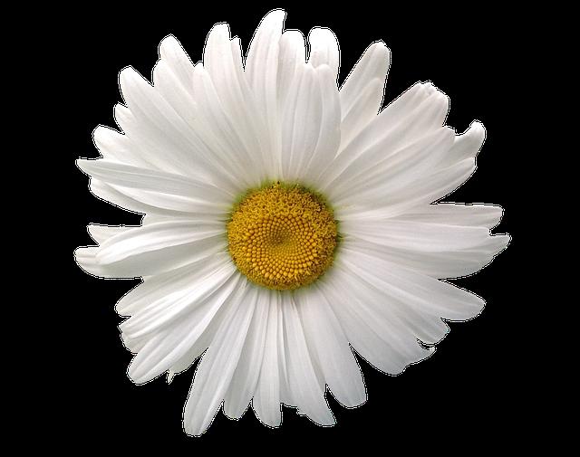 margriet zomer bloem 183 gratis foto op pixabay