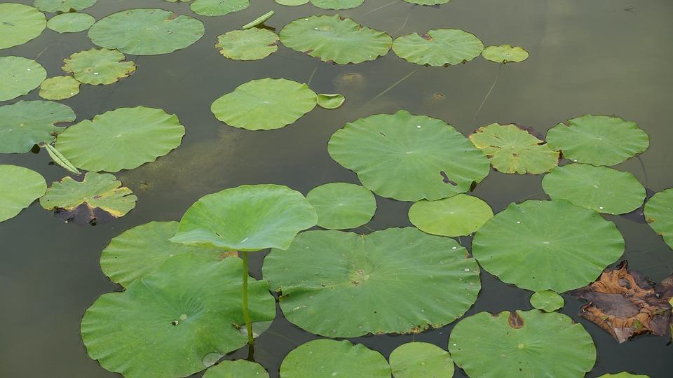 Lotus Leaf Water Park 183 Free Photo On Pixabay