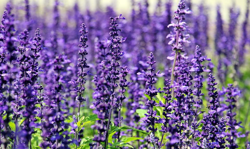 free photo lavender, flowers, purple flowers  free image on, Beautiful flower