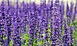 lavender, flowers, purple flowers
