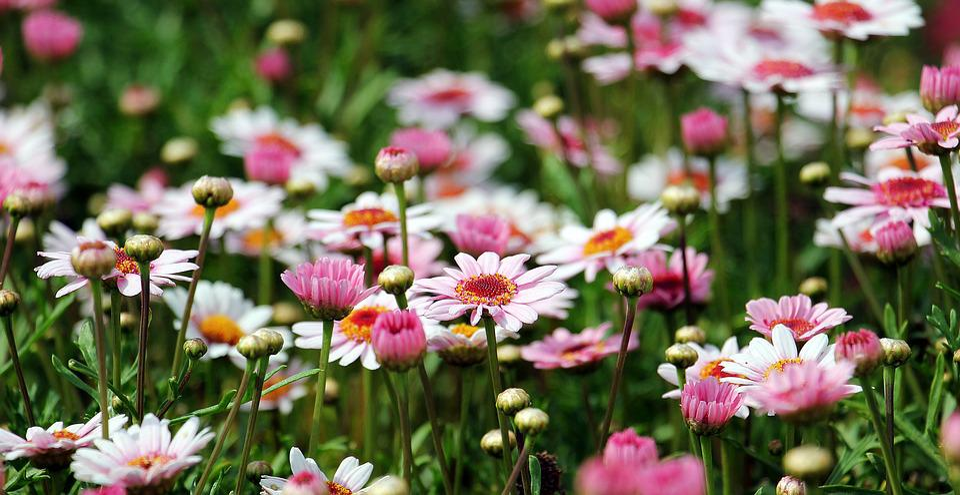 Marguerite, Flowers, Field, Buds, Marguerite Daisy