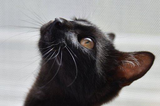 แมว, สีดำ, ดวงตาสีทอง, จ้องมองแมว