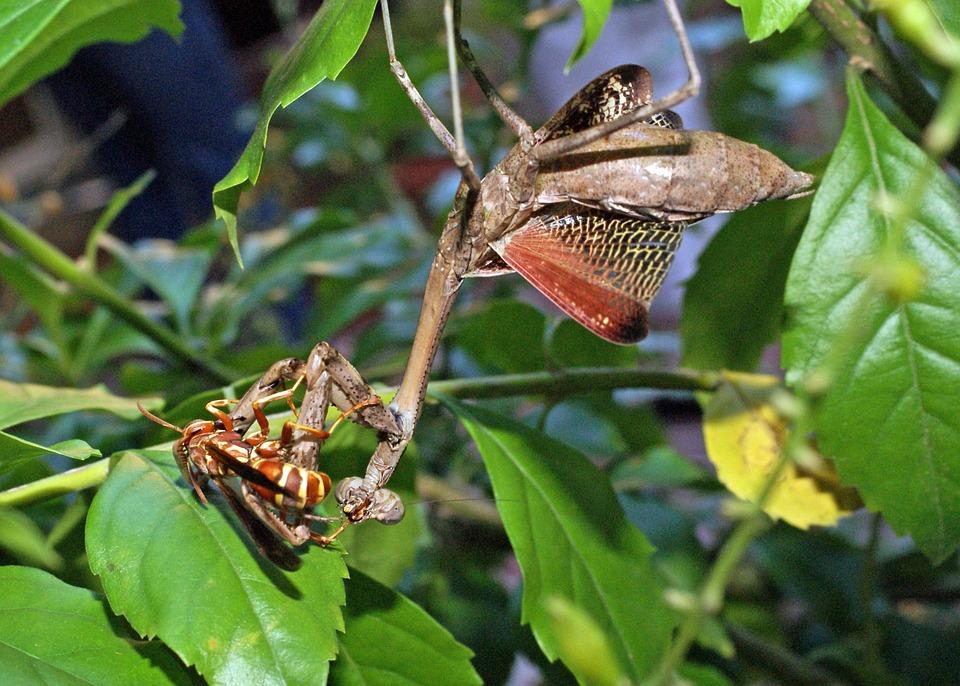 スズメバチ カマキリ カマキリは、ゴキブリが進化したものなのでしょうか?