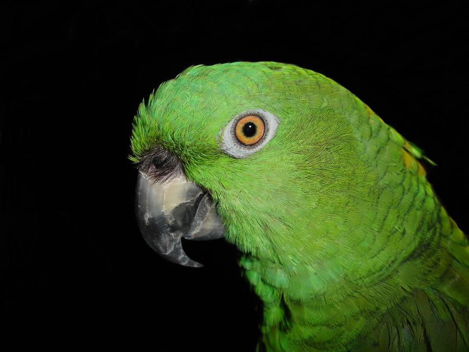 Gele Nek Amazone Papegaai - Gratis foto op Pixabay
