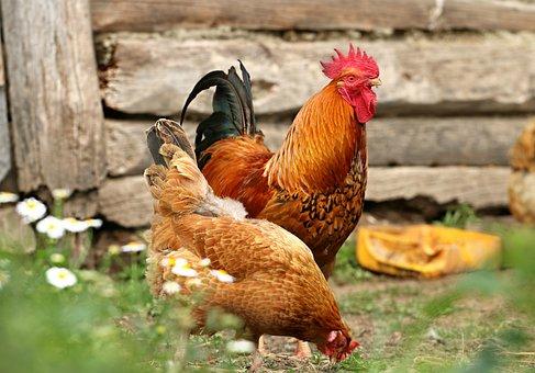 Cock, Chicken, Village, Yard, Family