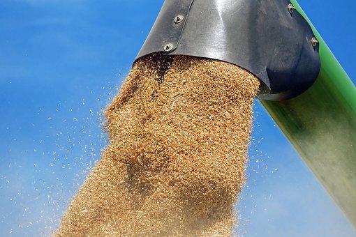 Trigo, Cereales, Granos De Trigo, Grano