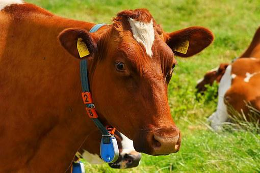 Cow, Red Orange, Curious, Animal
