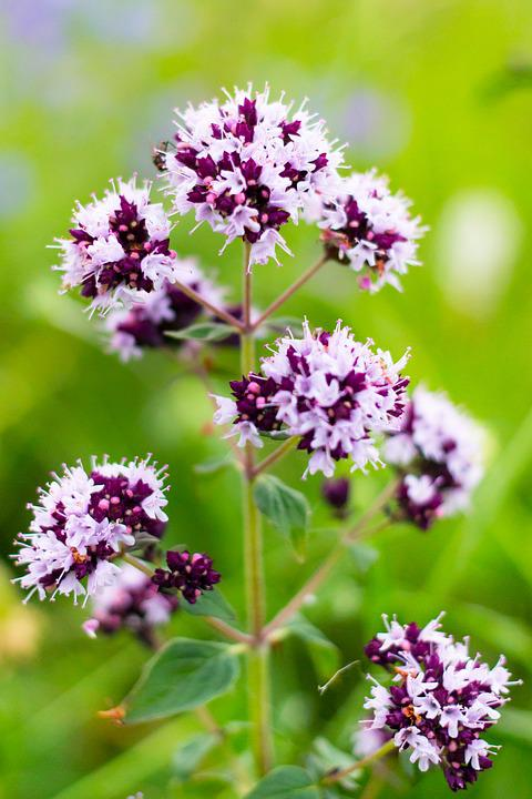 or ganum vulg re marjoram flowers free photo on pixabay. Black Bedroom Furniture Sets. Home Design Ideas