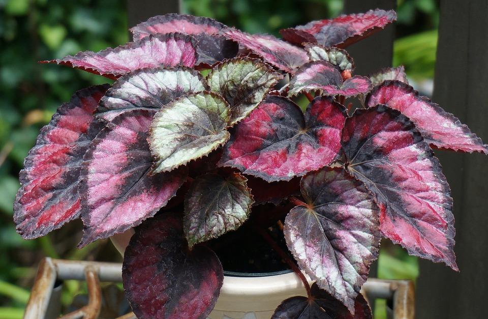 Rojo Beso Begonia Rex, Begonia Rex, Begonia