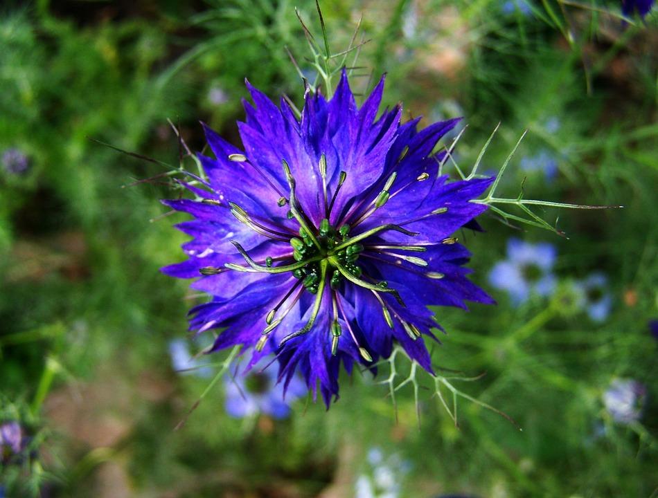 Borzaskata Blauen Gartenblumen · Kostenloses Foto auf Pixabay