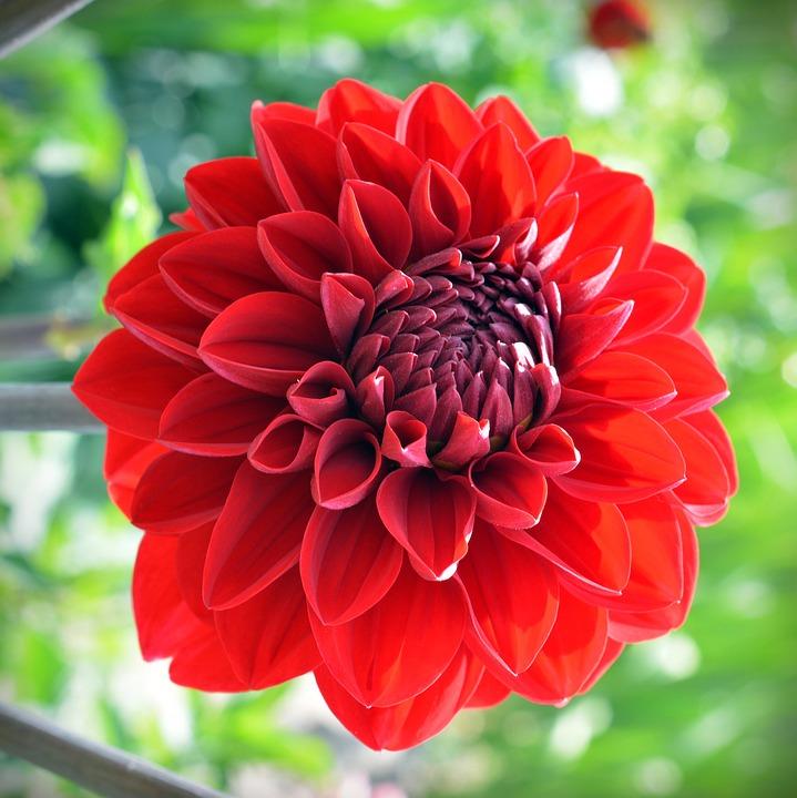 photo gratuite: dahlia, fleur, rouge - image gratuite sur pixabay