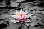 lilia wodna, różowy, roślin wodnych