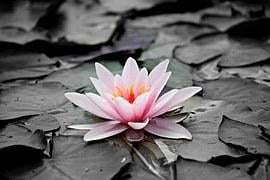 Water Lily, Pink, Aquatic Plant