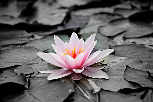 Pink flowers images pixabay download free pictures water lily pink aquatic plant pink water l mightylinksfo