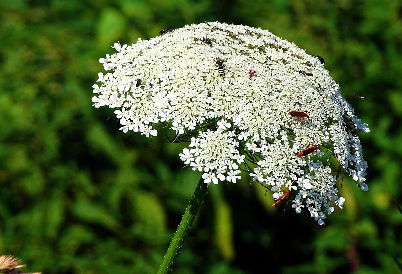 Тысячелистник картинки растения