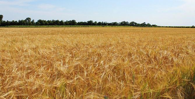 Fields, Wheat, Wheat Fields, Cereals