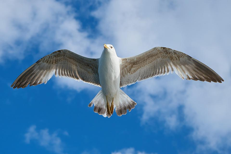 Seagull Bird Fly Animal Freedom