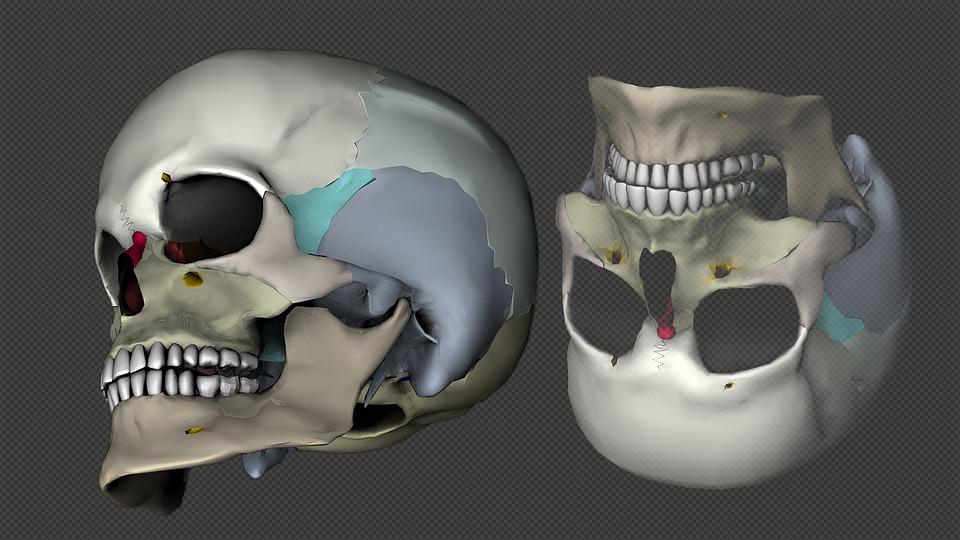 Cráneo La Cabeza 3D-Modelo · Imagen gratis en Pixabay