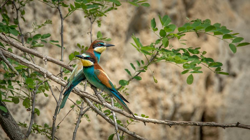 european bee eater merops apiaster free photo on pixabay