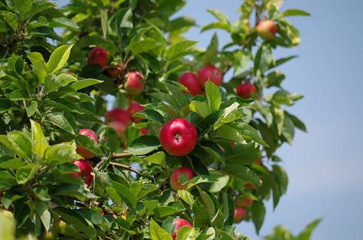 Apple Tree, Apples, Fruit, Matures