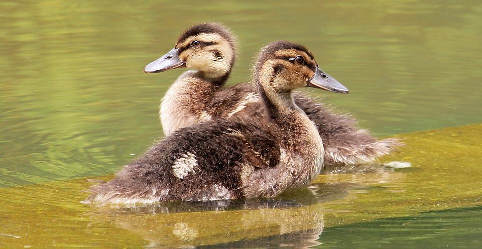 Free Photo Ducks Young Duckling Poultry Free Image On