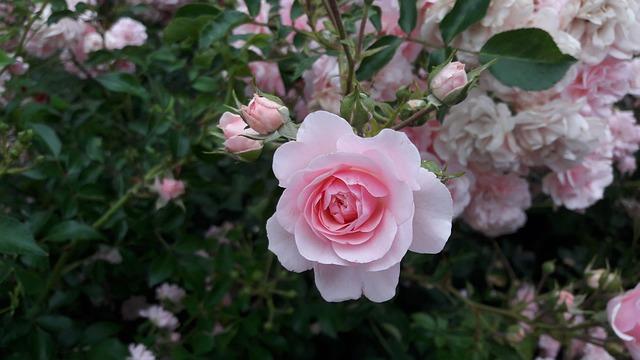Kostenloses Foto: Rose, Blume, Weiße Rose, Rote Rose