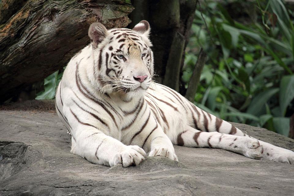 Free photo: Bengal Tig...