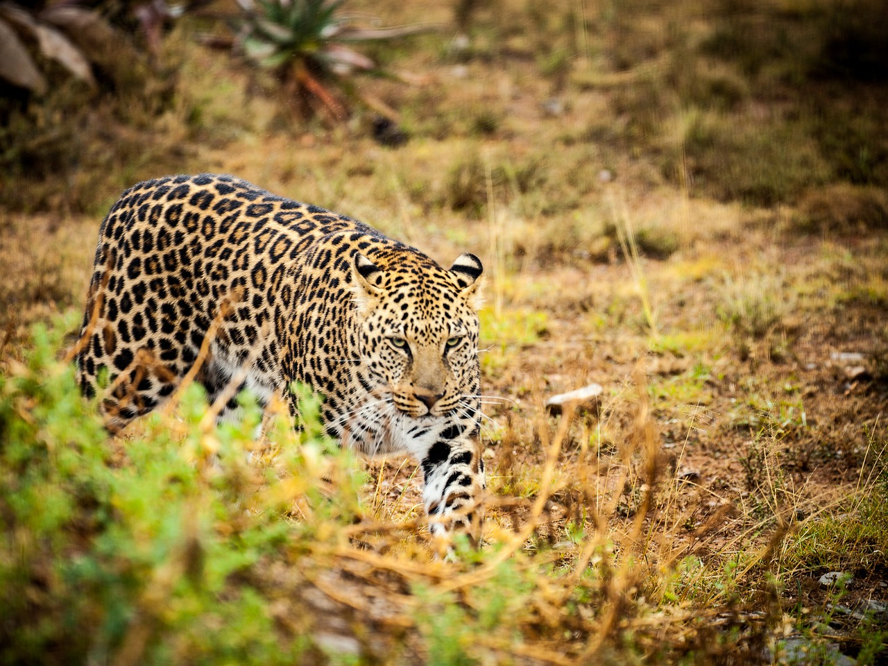 Wild cat with leopard spots