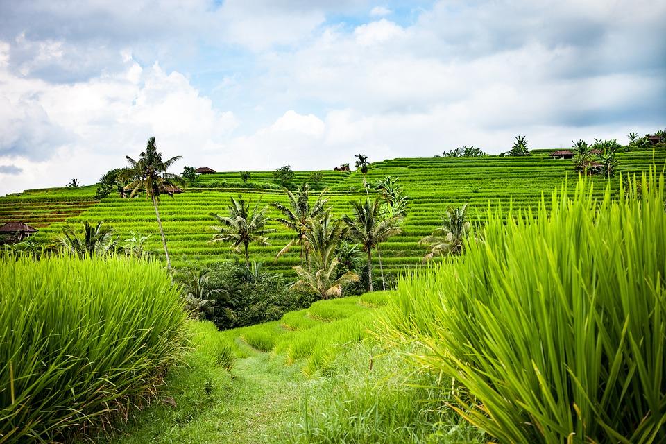 bali sawah pemandangan beras budidaya padi teras