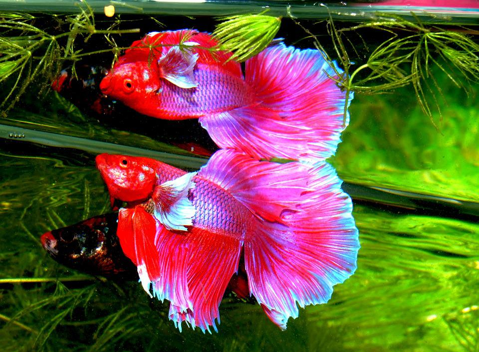 Betta Splendens Siam Fighter Fish - Free photo on Pixabay