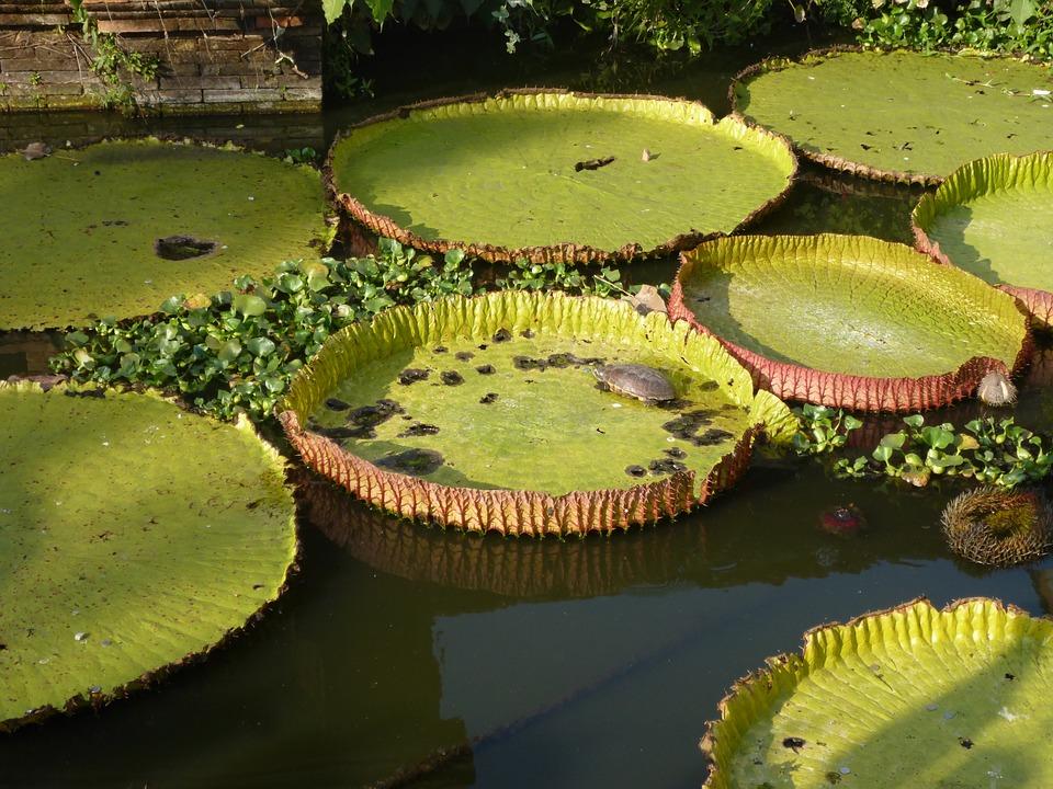 Lotus asia meditation big free photo on pixabay lotus asia meditation big leaves pond water plant mightylinksfo Image collections