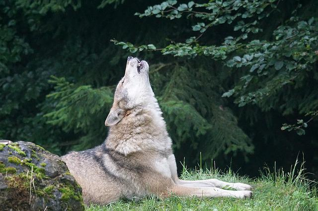 free photo wolf howl wolf howling free image on