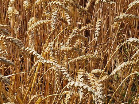 Harvest Time, Cornfield, Cereals, Spike