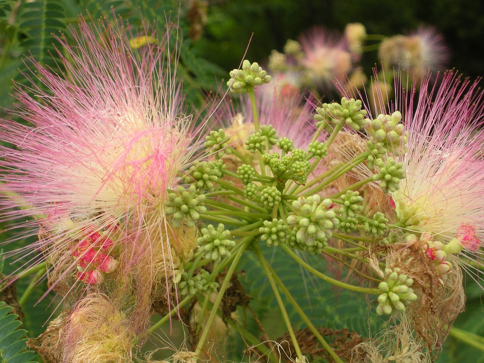 Blumen Silk Tree Flower Insgesamt Kostenloses Foto Auf Pixabay