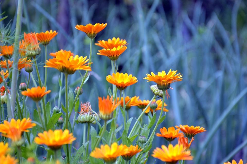 Calendula, Calendula Officinalis, Plante, Fleurs