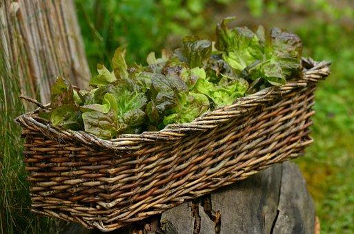 Salad, Leaf Lettuce, Bio, Fresh, Healthy