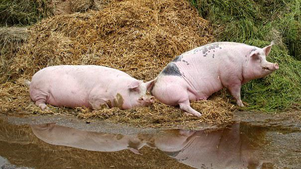 Pig, Domestic Pig, Farm, Livestock